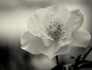 Amee Stadler - Black and White Rose