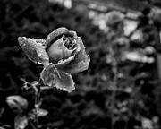 Dew Covered Posters - Black and White Rose in Roncesvalles Poster by Tanya Harrison