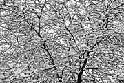 Winter Landscapes Photos - Black and White Snowy Tree Abstract by James Bo Insogna