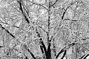 James BO  Insogna - Black and White Snowy Tree Branches Abstract 2