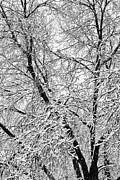 Winter Prints Posters - Black and White Snowy Tree Branches Abstract Four Poster by James Bo Insogna