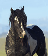 Carol Walker - Black and White Stallion...
