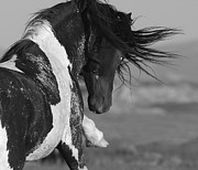Wild Horse Prints - Black and White Stallion Strikes Print by Carol Walker