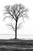 Joshua M Schreiber - Black and White Tree