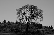 Wayne Lindberg - Black and White Tree