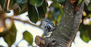 Rosanne Jordan - Black and White Warbler 2