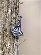 Daniel Behm Metal Prints - Black and White Warbler Metal Print by Daniel Behm
