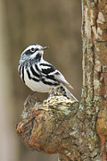 Wood Warbler Prints - Black-and-White Warbler on Knot Print by Alan Lenk