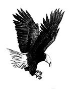 Hunting Drawings Prints - Black and White with Pen and Ink drawing of American Bald Eagle  Print by Mario  Perez