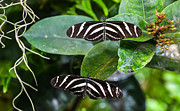 Zebra Butterfly Acrylic Prints - Black and White Zebra Butterflies Acrylic Print by Michael Moriarty