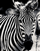 Maggy Marsh - Black and white Zebra...