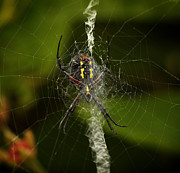 Galt Posters - Black and Yellow Argiope Spider in Web Poster by Inspired Nature Photography By Shelley Myke