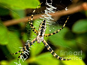 Orb Weaver Framed Prints - Black And Yellow Garden Spider Framed Print by Millard H. Sharp