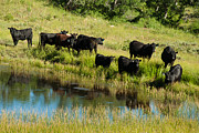 E Black Framed Prints - Black Angus Cattle Grazing Kolob Area Markagunt Plateau Utah Framed Print by Robert Ford