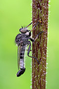 Insects Artwork Photo Posters - Black Assassin Robber Fly Poster by Juergen Roth