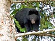Fir Tree Framed Prints - Black Bear 2 Framed Print by Will Borden