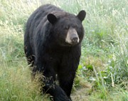 Jody Benolken - Black Bear Afternoon Walk