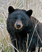 Black Bear Photos - Black Bear closeup by Gary Langley