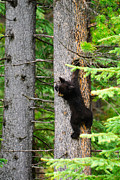 Black Bear Climbing Tree Posters - Black Bear Cub climbing a pine tree Poster by Brandon Smith
