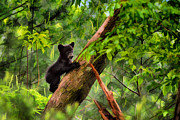 Black Bear Climbing Tree Posters - Black bear cub climbing in tree and looking around  - artistic Poster by Dan Friend
