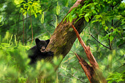 Black Bear Climbing Tree Posters - Black bear cub in tree  - artistic Poster by Dan Friend