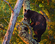 Black Bear Climbing Tree Posters - Black Bear Cub in Tree Poster by Mary Almond