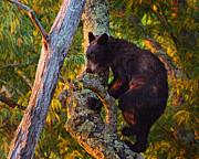 Mary Almond - Black Bear Cub in Tree