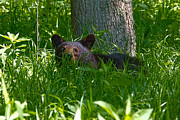 Mary Almond - Black Bear Cub