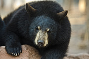 Michael Misciagno - Black Bear cub stare