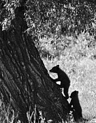 Killer B Posters - Black Bear Cubs Climbing a Tree Poster by Crystal Wightman