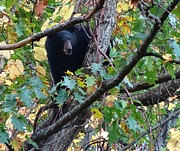 Black Bear Climbing Tree Posters - Black Bear Poster by Dan Sproul