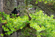 Black Bear Climbing Tree Posters - Black Bear Family in a Tree Poster by Brandon Smith