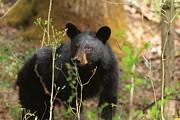 Geraldine DeBoer - Black Bear