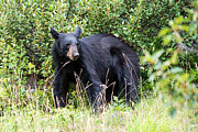 Black Bear Art - Black Bear in Jasper National Park by Ian Stotesbury