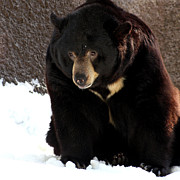 Bob and Jan Shriner - Black Bear in Snow