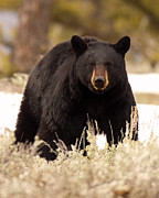 Max Allen - Black Bear Looking In