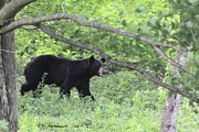 Carolyn Postelwait - Black Bear on the Move