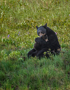 Mark Steven Perry - Black bear sow hugging...