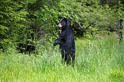 Dan Friend - Black bear standing upright looking