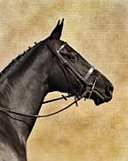 Plaited Posters - Black Beauty Poster by Linsey Williams