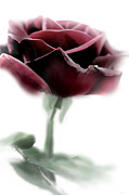 Rose Portrait Photos - Black Beauty Red Rose Flower by Jennie Marie Schell