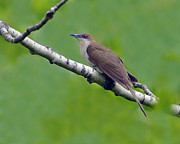 Migrant Posters - Black-billed Cuckoo Poster by Tony Beck