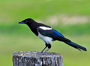Chordata Prints - Black billed Magpie Print by Karon Melillo DeVega