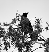 Bird On Tree Prints - Black Bird On A Tree Print by Francis Yamoah
