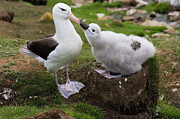 Baby Bird Photos - Black-browed Albatross Chick Begging by Luciano Candisani