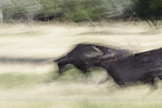 Natuur Photos - Black bulls in France by Ronald Jansen