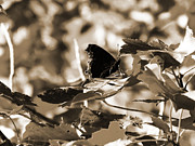 Jamie White - Black butterfly in sepia