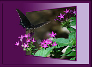 Out Of Bounds Acrylic Prints - Black Butterfly Acrylic Print by Thomas Woolworth