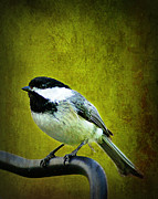 Black-capped Chickadee Greeting Cards Prints - Black-capped Chickadee Backyard Birds of Fremont Wisconsin   Print by Carol Toepke