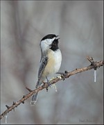 Wildlife Pyrography Posters - Black Capped Chickadee Calling Poster by Daniel Behm